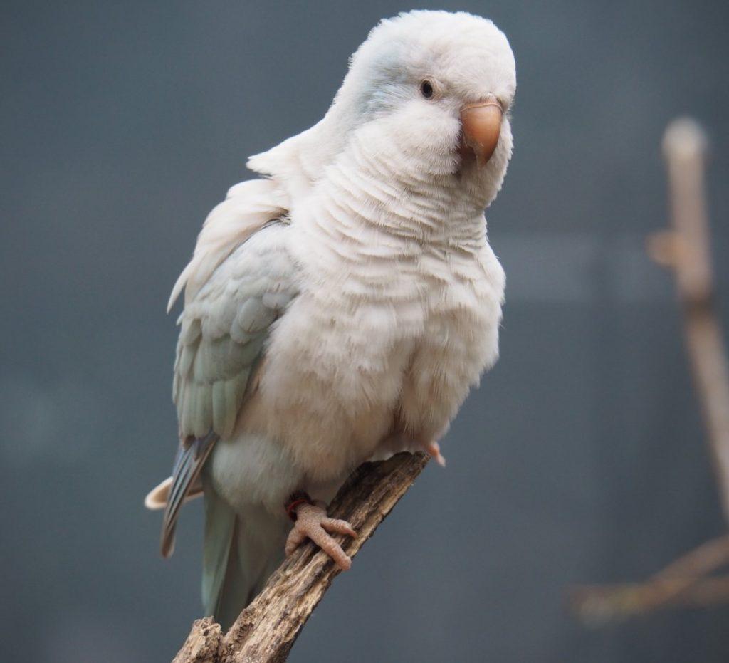 pallid blue quaker parrot